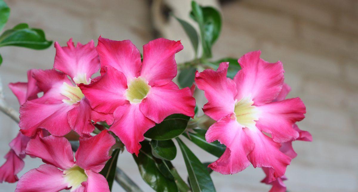 Pink desert wildflowers