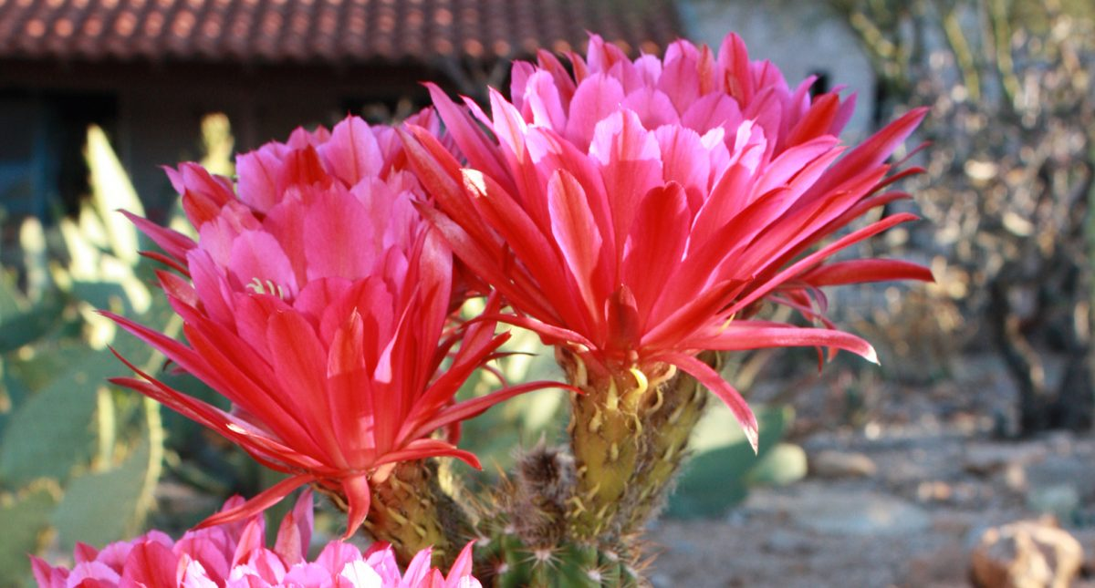 A pink flower blooming from a cactus