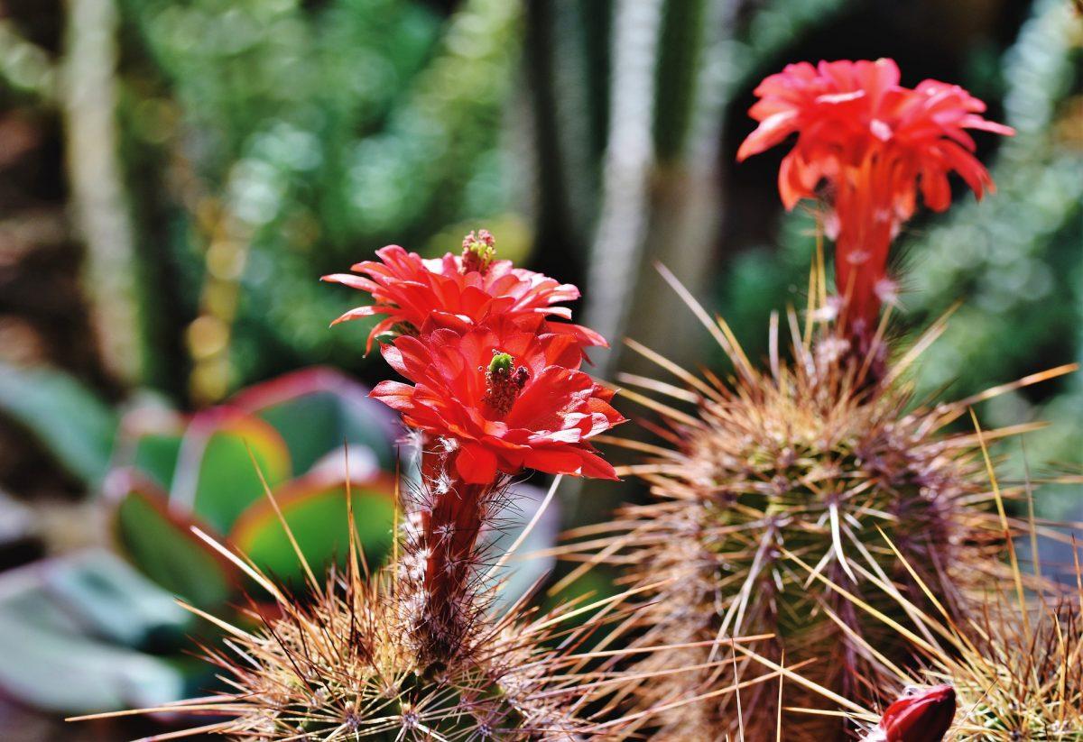 Red cactus flowers in bloom